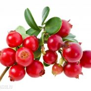 Cowberry and recipes with it from potionsquirrel.ru