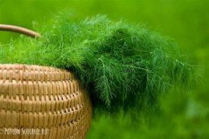 Укроп и его полезные свойства